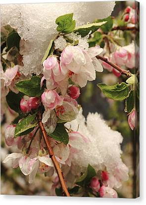 Apple Blossoms In Snow Canvas Print by Diane Zucker