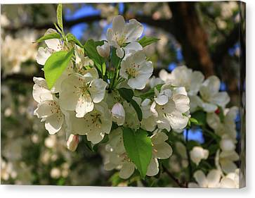 Apple Blossoms  Canvas Print by Laurie Breton