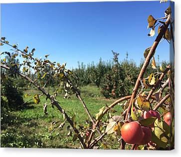 Apple Orchard 1 Canvas Print by Jason Nicholas