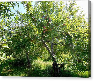 Organic Canvas Print - Apple Orchard 16 by Lanjee Chee