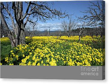 Canvas Print featuring the photograph Apple Orchard In January by Stan and Anne Foster