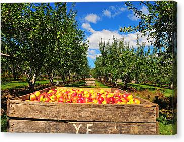 Apple Picking Season Canvas Print by Catherine Reusch Daley