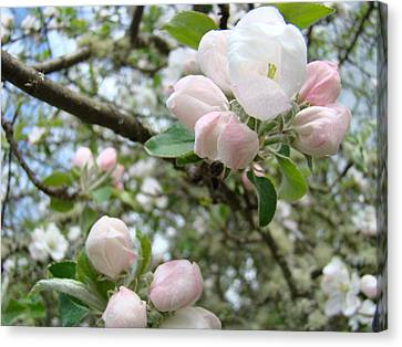 Apple Tree Blossoms Art Prints Apple Blossom Buds Baslee Troutman Canvas Print by Baslee Troutman