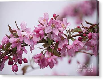 Wet Canvas Print - Apple Tree Blossoms by Carolyn Brown