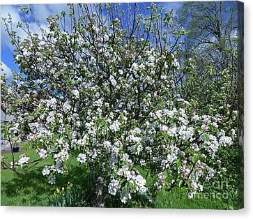 Apple Tree In Blossom Canvas Print by Phil Banks
