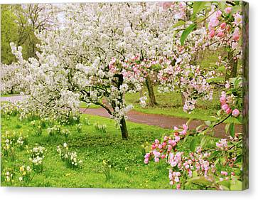 Apple Trees In Bloom Canvas Print by Jessica Jenney