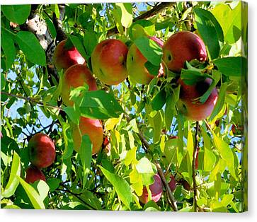Apples Hanging From A Tree Branch 9 Canvas Print