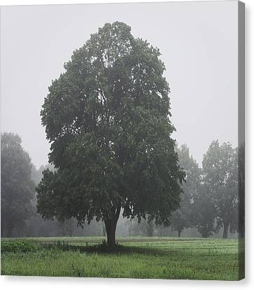 Appleton Canvas Print - Appleton Tree Rainy Day by David Stone