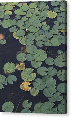 Approaching Lilly Canvas Print by Alan Rutherford