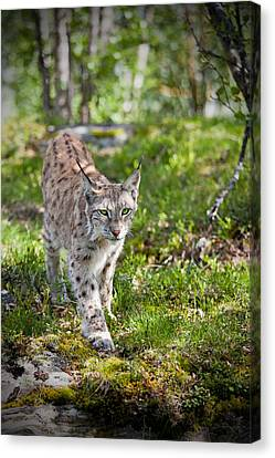 Approaching Lynx Canvas Print