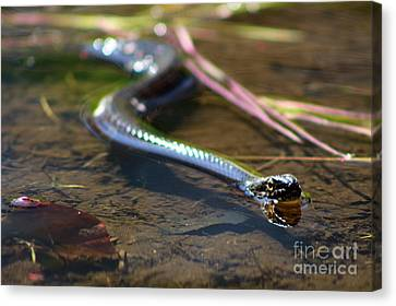 Approaching Water Snake On Little River  Canvas Print by Neal Eslinger