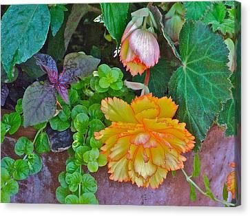 Apricot Begonia 3 Canvas Print