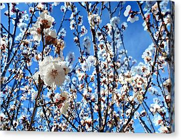 Canvas Print featuring the photograph Apricot Blossoms by Glenn McCarthy Art and Photography