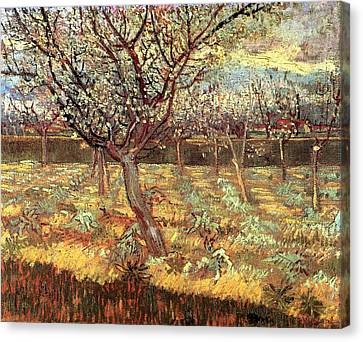 Apricot Trees In Blossom Canvas Print