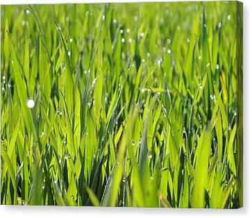 April Dewdrop Fairylights Canvas Print