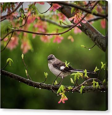 April Showers Bring May Flowers Mocking Bird Canvas Print by Terry DeLuco