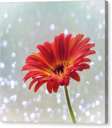 April Showers Gerbera Daisy Square Canvas Print by Terry DeLuco