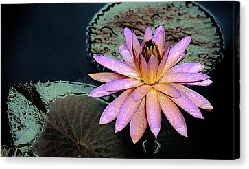 Aquatic Beauty Night Blooming Water Lily Canvas Print by Julie Palencia