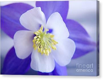 Blooming Canvas Print - Aquilegia by Julia Hiebaum