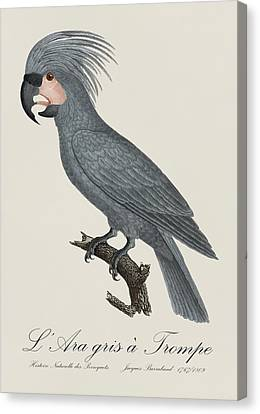 Ara Gris A Trompe / Grey Palm Cockatoo - Restored 19th Century Illustration By Jacques Barraband Canvas Print by Jose Elias - Sofia Pereira