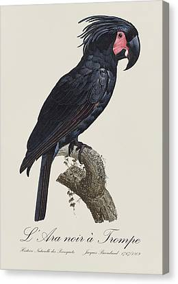 L' Ara Noir A Trompe / Palm Cockatoo - Restored 19th Century Parrot Illustration By Barraband Canvas Print by Jose Elias - Sofia Pereira