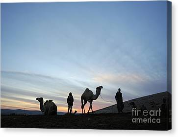 Arabian Camel At Sunset Canvas Print by PhotoStock-Israel