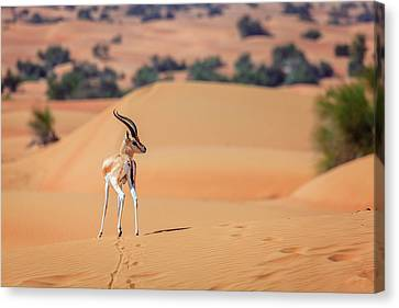 Canvas Print featuring the photograph Arabian Gazelle by Alexey Stiop