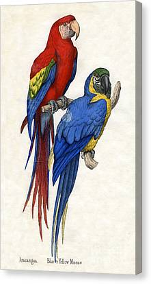 Macaw Canvas Print - Aracangua And Blue And Yellow Macaw by American School