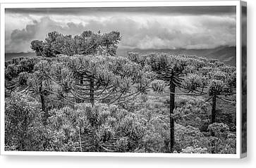 Araucaria Angustifolia-campos Do Jordao-sp Canvas Print