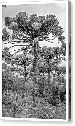 Araucaria Angustifolia-curi-campos Do Jordao-sp Canvas Print