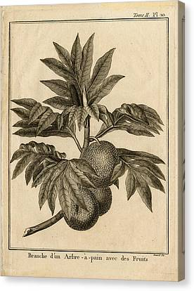 Arbre Apain Breadfruit Branch Canvas Print