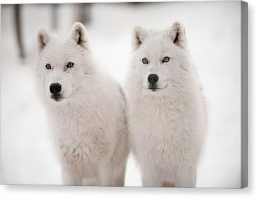 Arctic Duet Canvas Print by PNDT Photo