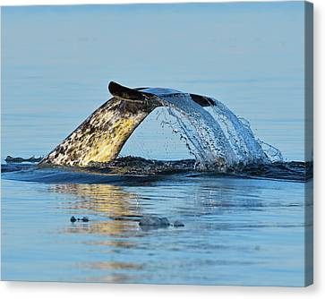 Monoceros Canvas Print - Arctic Fluke by Tony Beck