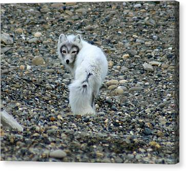 Arctic Fox Canvas Print by Anthony Jones