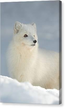 Arctic Fox In Winter Canvas Print by Andy Astbury