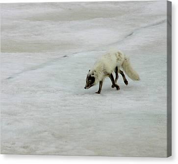 Arctic Fox On Ice Canvas Print by Anthony Jones