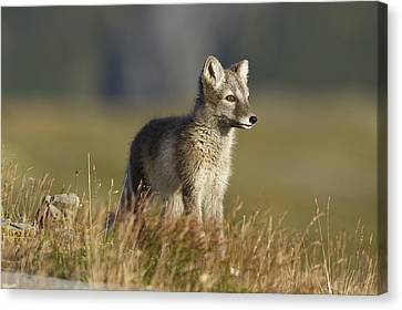 Arctic Fox Puppie Canvas Print