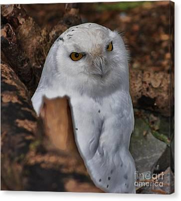 Arctic Snow Owl Canvas Print
