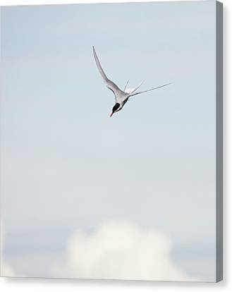 Arctic Tern Diving Canvas Print