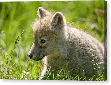 Arctic Wolf Pup In Grass Canvas Print by Michael Cummings