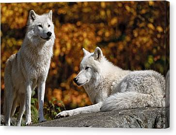 Canvas Print featuring the photograph Arctic Wolves On Rocks by Michael Cummings