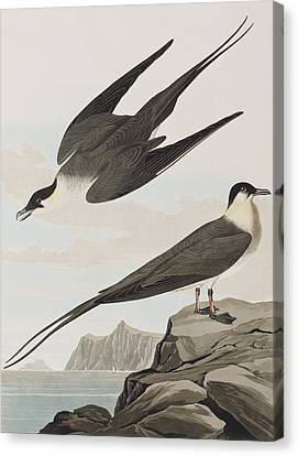 Arctic Yager Canvas Print by John James Audubon