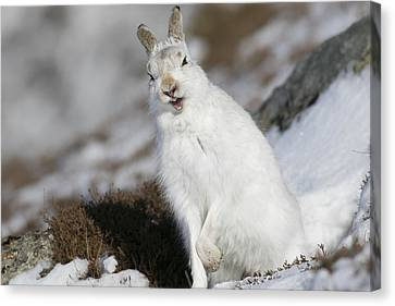 Are You Kidding? - Mountain Hare #14 Canvas Print