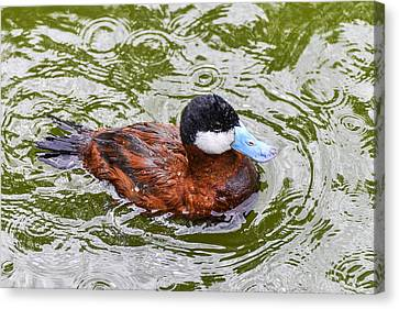 Argentine Ruddy Duck Canvas Print