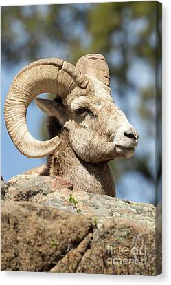 Canvas Print - Aries by Natural Focal Point Photography
