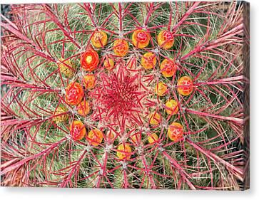 Arizona Barrel Cactus Canvas Print by Delphimages Photo Creations