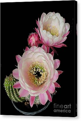 Arizona Desert Cactus Flowers Canvas Print by Merton Allen