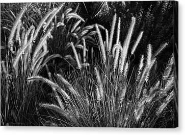 Arizona Desert Grasses Canvas Print