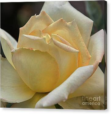 Arizona Territorial Rose Garden - Pale Yellow  Canvas Print by Kirt Tisdale
