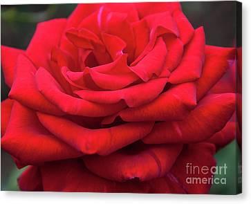 Arizona Territorial Rose Garden - Red Velvet Canvas Print by Kirt Tisdale